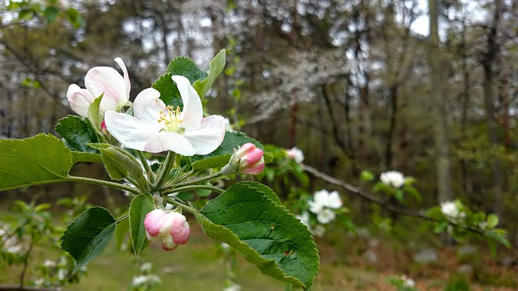 リンゴの花をアップで