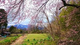 咲き始めた桜と田園風景