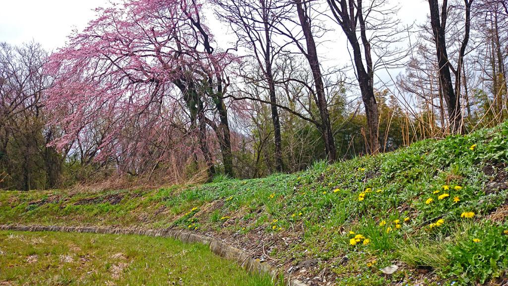 タンポポが咲く土手と咲き始めた桜