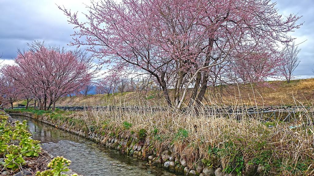 用水路沿いのフキノトウと咲き始めた桜