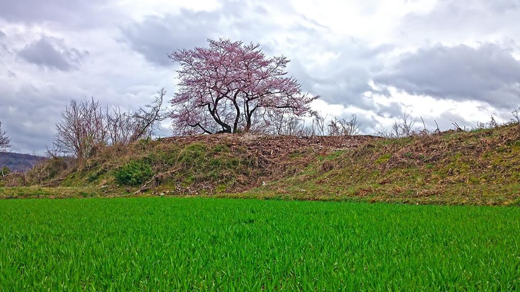 麦畑と咲き始めた桜