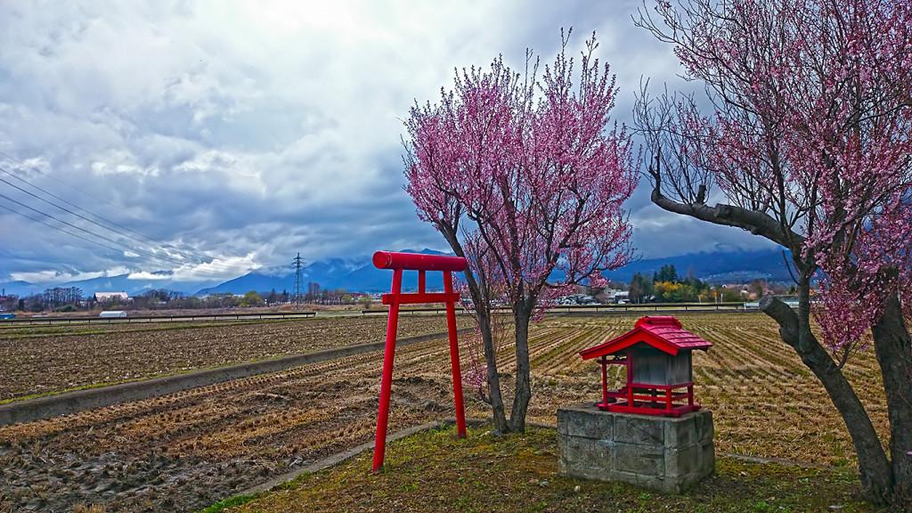 ミニ神社と桜
