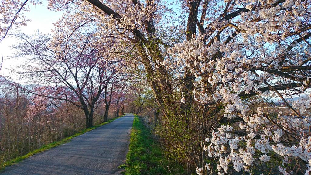 道沿いの何気ない桜の風景