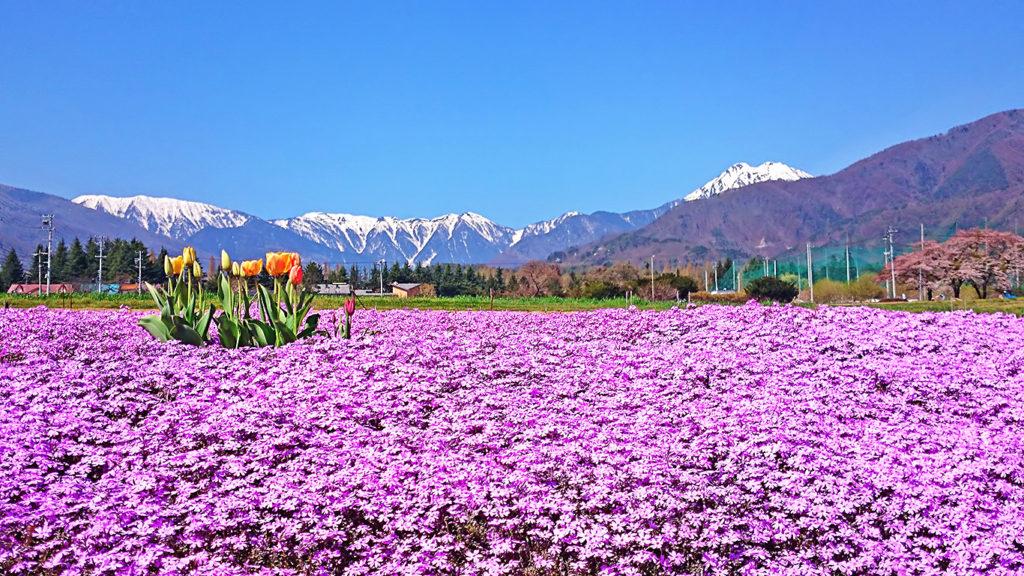 芝桜とチューリップと蝶ヶ岳
