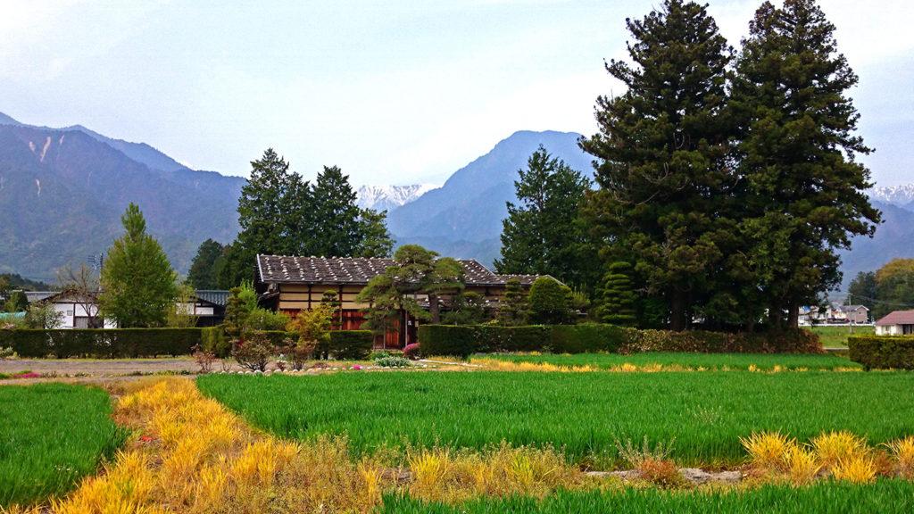 曽根原家住宅前の麦畑の周囲の黄色い草