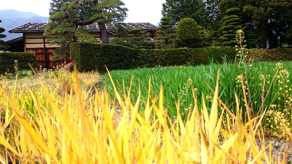 曽根原家住宅前の麦畑の黄色い草