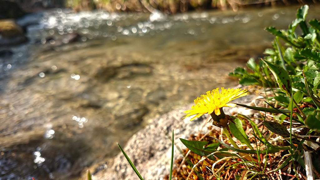 油川の渕で咲くタンポポの花