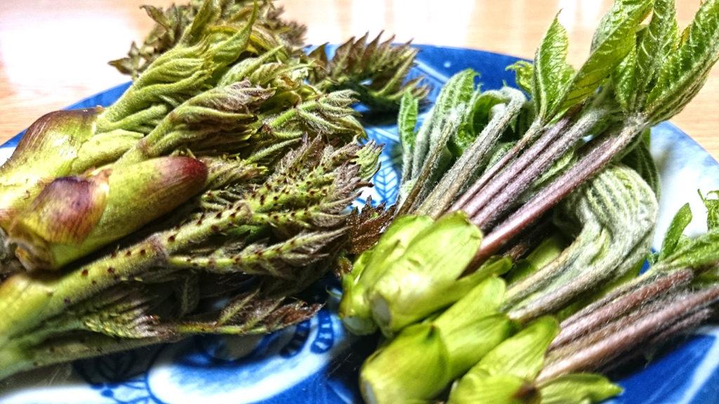 家の周囲で採ってきたタラの芽とコシアブラ