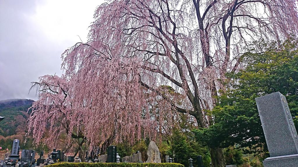 田多井の桜1