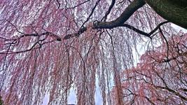 田多井の桜2