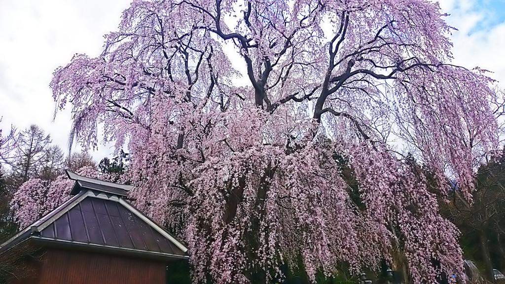 田多井観音堂の枝垂桜