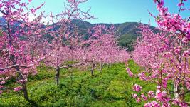 三郷の山際の花咲く桃園