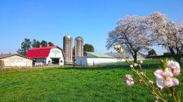 北アルプス牧場と桜