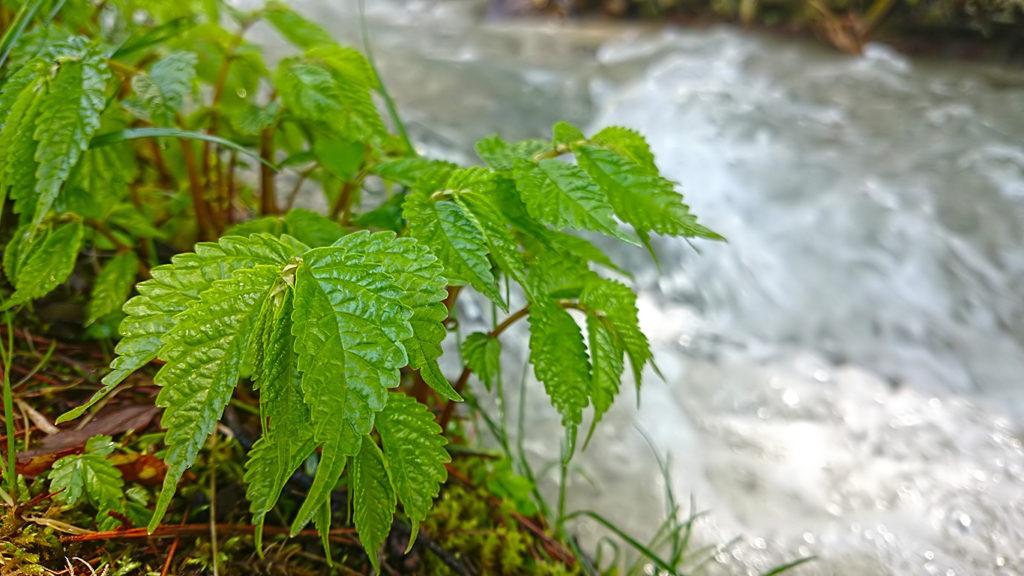 ウワバミソウの新緑
