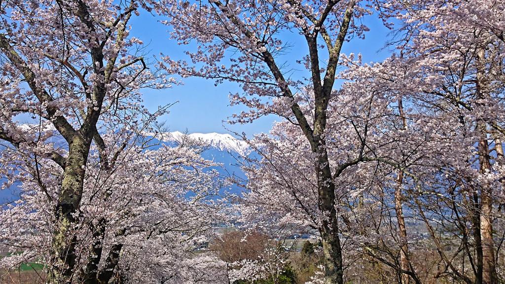 桜の間から覗く大天井岳