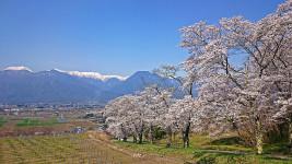 鵜山の桜並木と北アルプス