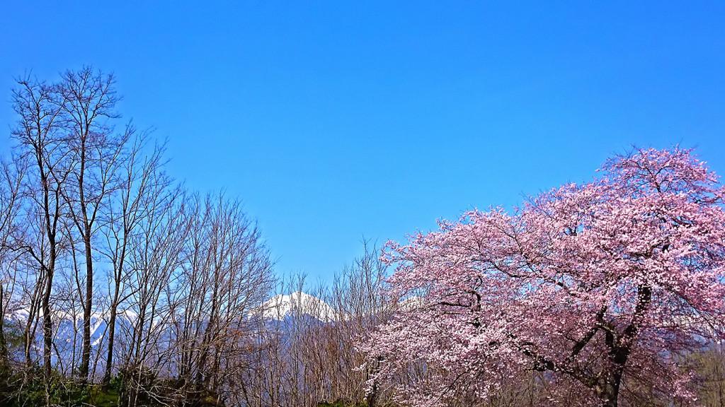 桜と木々の間から見える常念岳