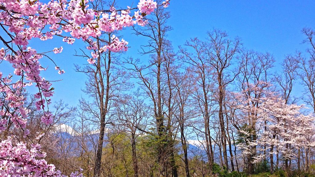ビレッジ安曇野第二駐車場から見る桜と新緑と北アルプス