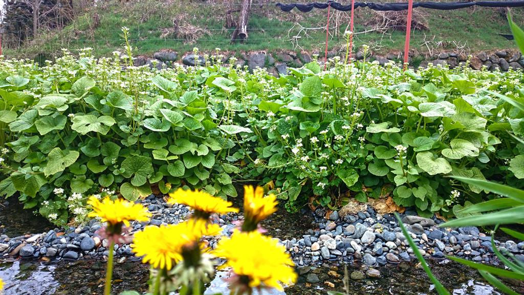 タンポポとわさびの花