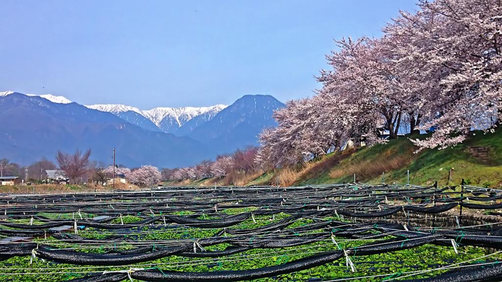 穂高川沿いのわさび田と桜・有明山・大天井岳