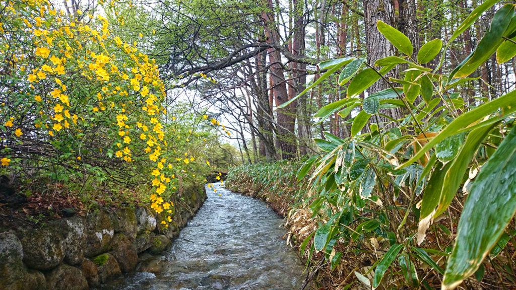 油川沿いに咲くヤマブキの花と雨に濡れる新緑