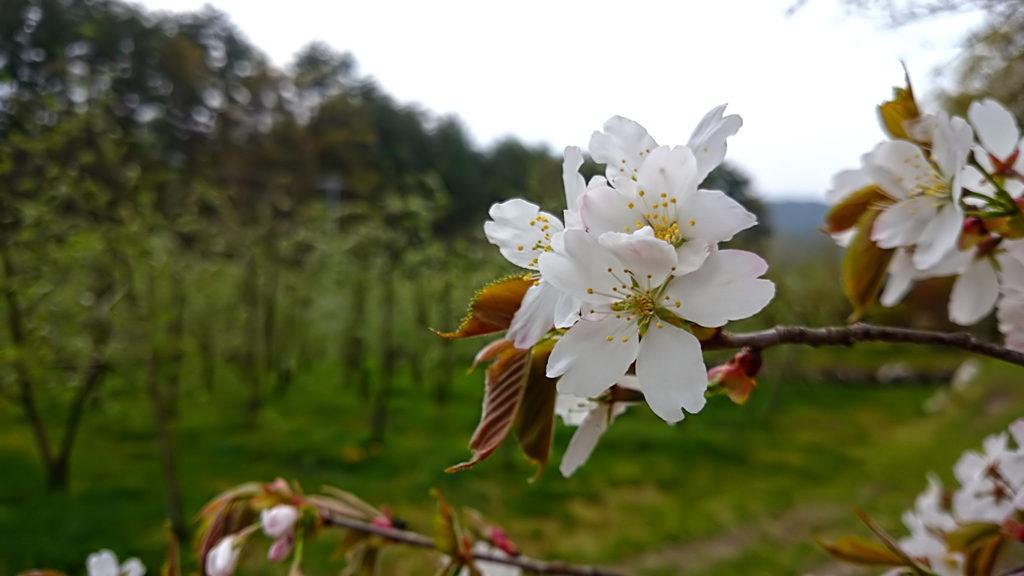 山桜の花をアップで