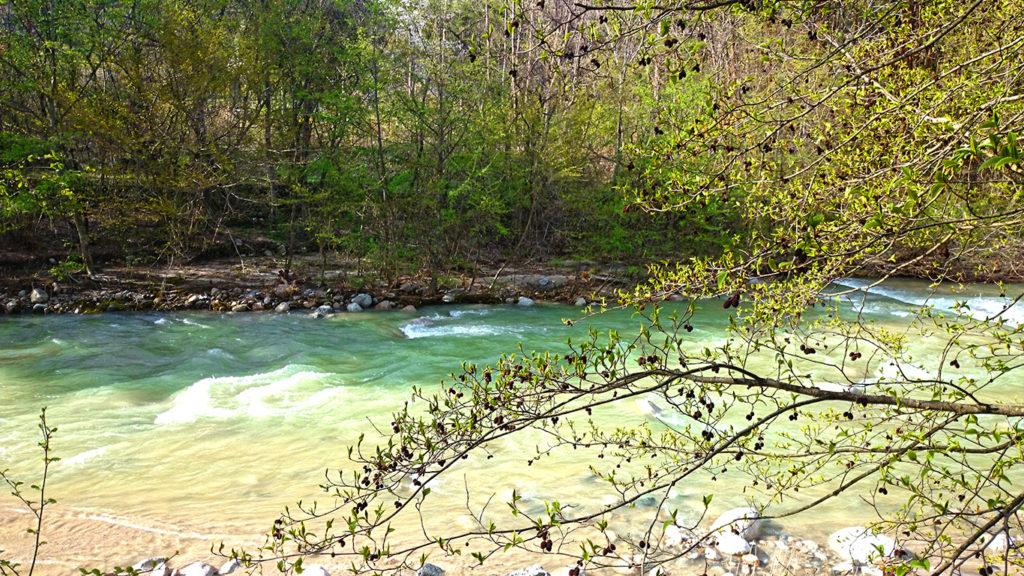 中房川沿いの新緑のヤシャブシ