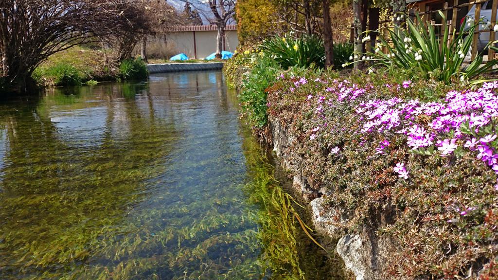 用水路沿いに咲くシバザクラ