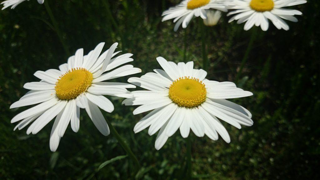フランスギクの花