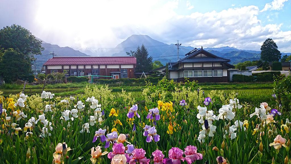 ジャーマンアイリスの花と新屋公民館