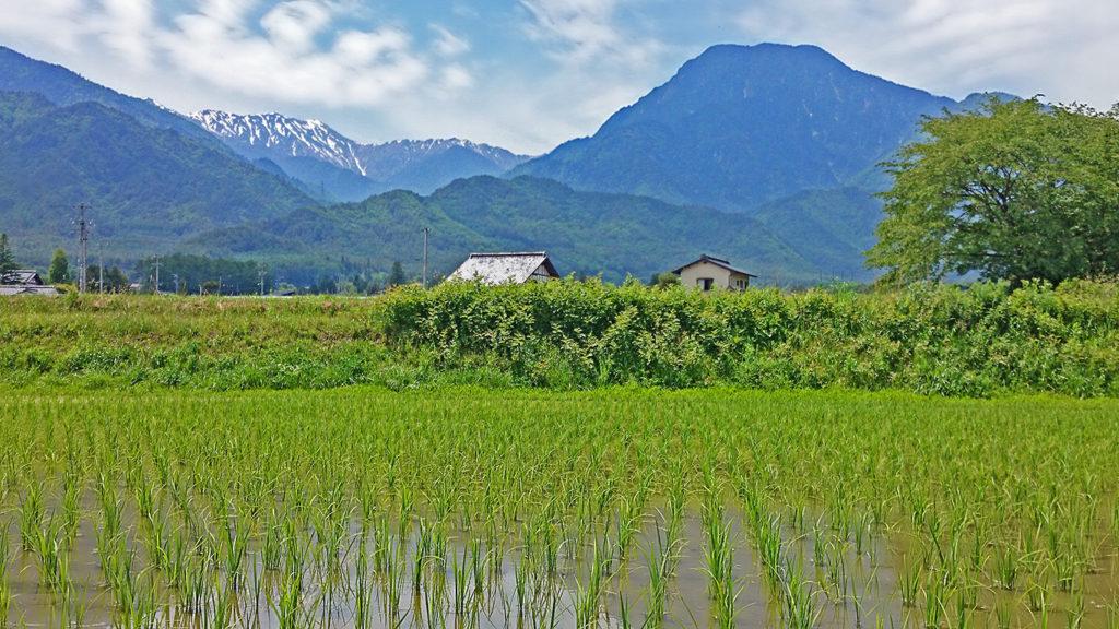 少し緑が濃くなってきた水田と有明山・大天井岳