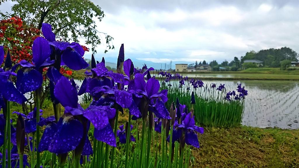 田んぼの脇のアヤメの花