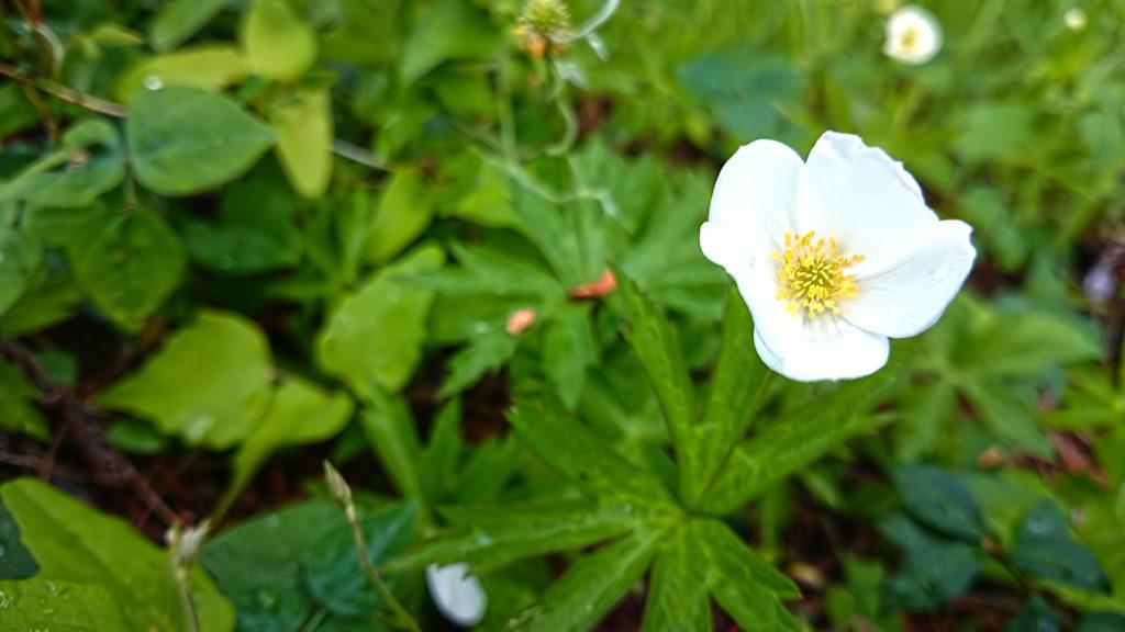 バイカイチゲの花