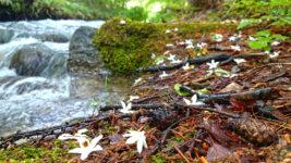 川べりに散るエゴノキの白い花