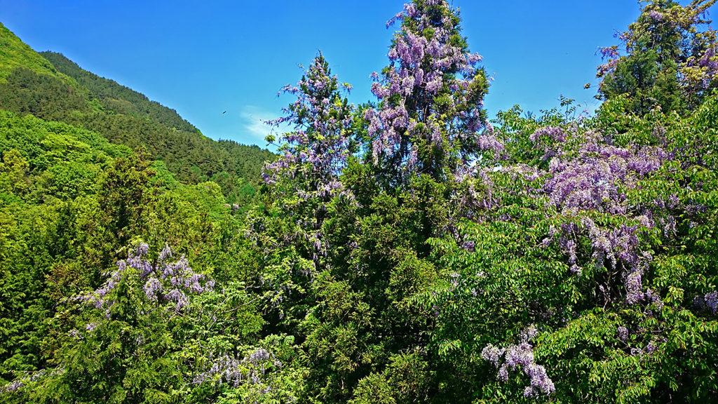山の中の藤の花