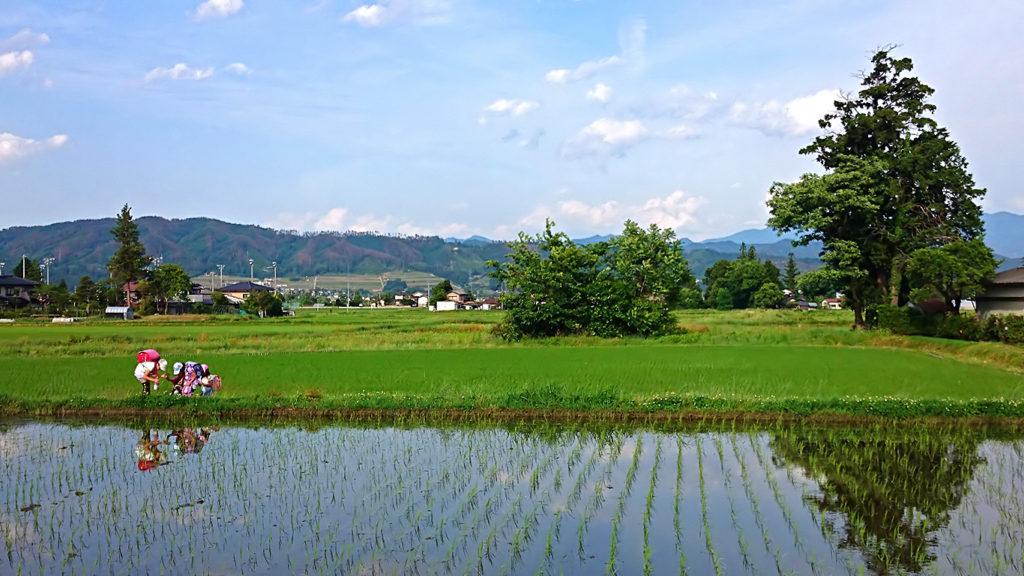 小学生の田んぼの畔での道草風景