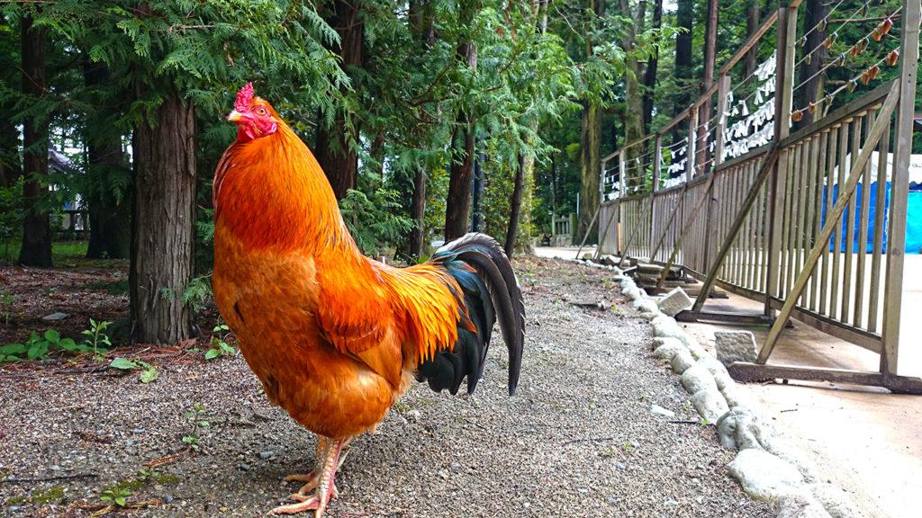 穂高神社境内の鶏