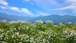 フランスギクが咲く土手と常念岳