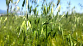 カラス麦の穂