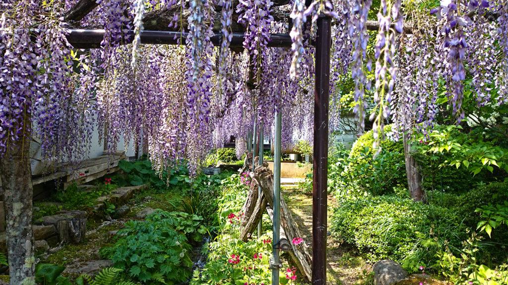 満願寺の藤の花