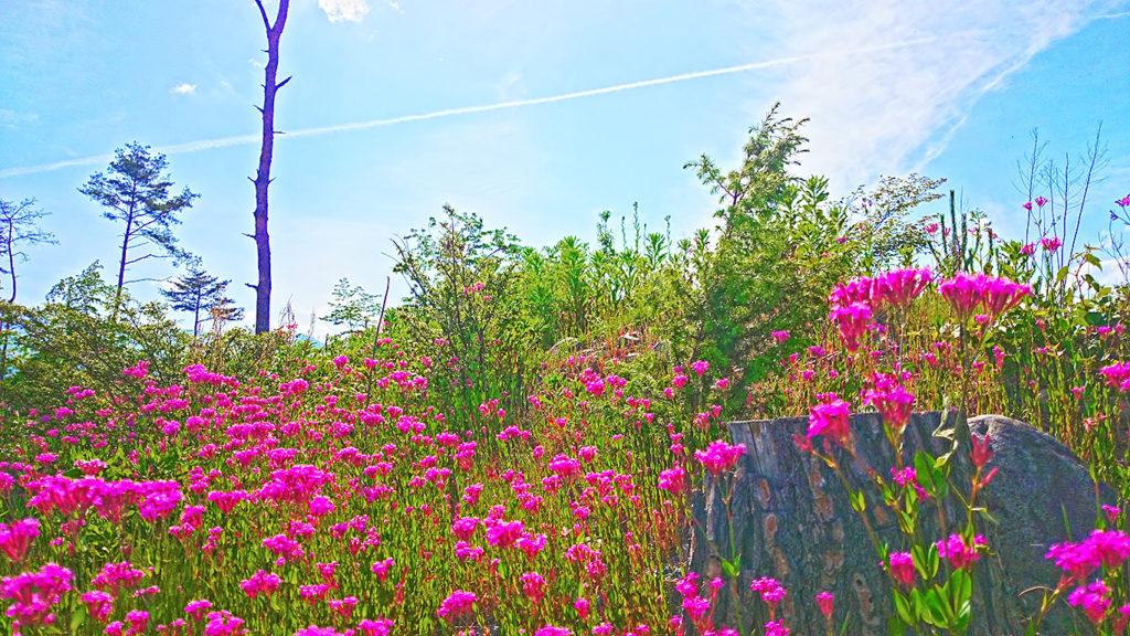 ムシトリナデシコが咲く土手