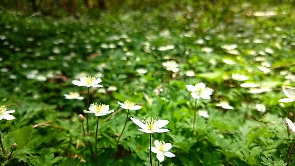 ニリンソウのお花畑