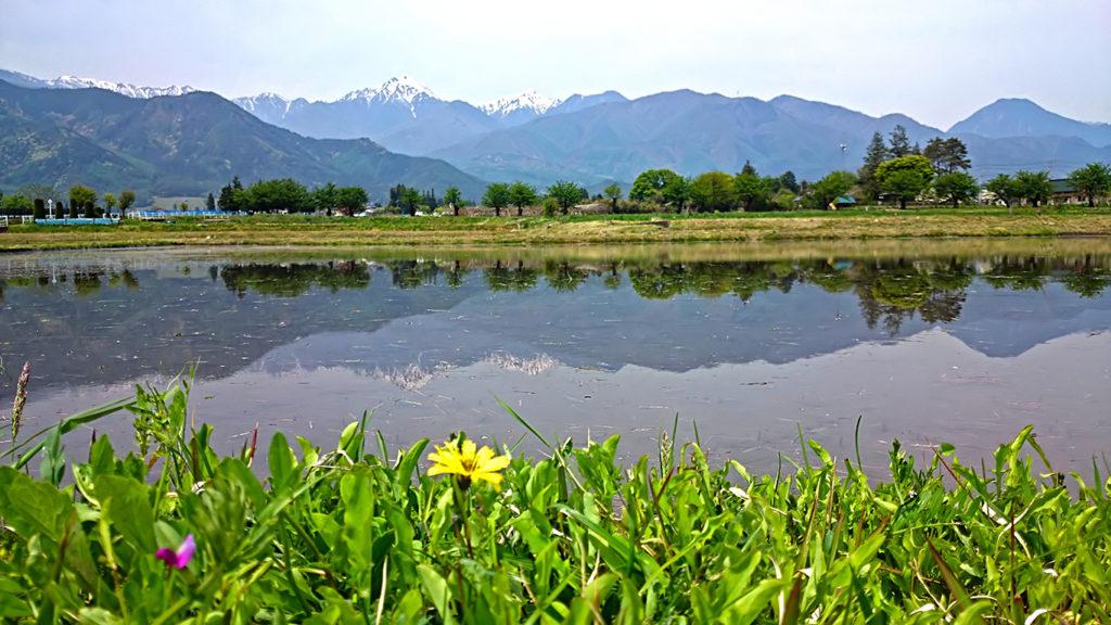 オオジシバリの花と田んぼの水鏡