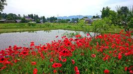 ポピーの花咲く何気ない田園風景