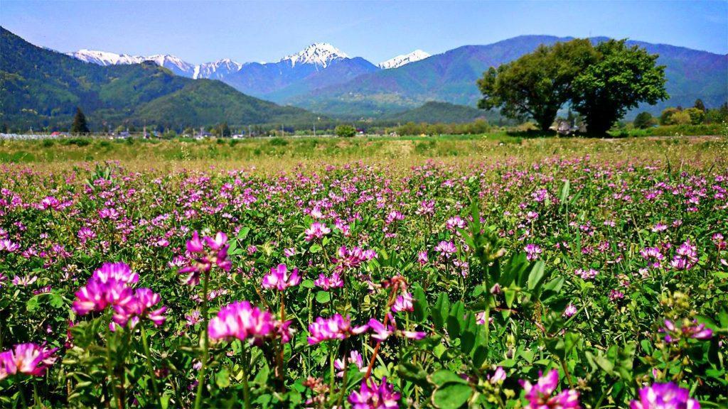 蓮華草のお花畑と常念岳