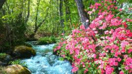 ツツジが咲き誇る油川