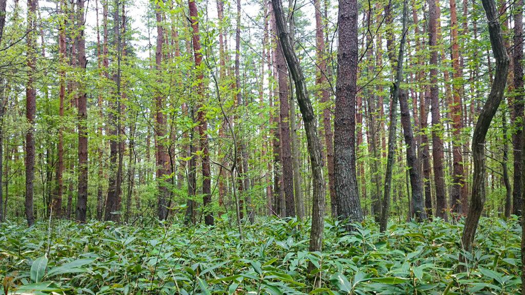 クマザサが生えるアカマツ林の中の新緑