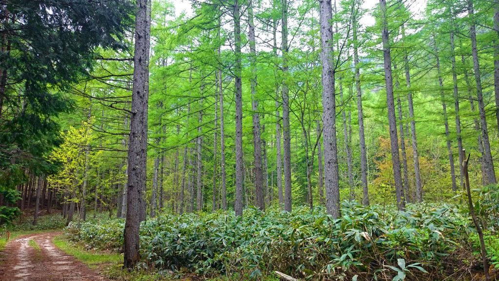 カラマツ林の新緑