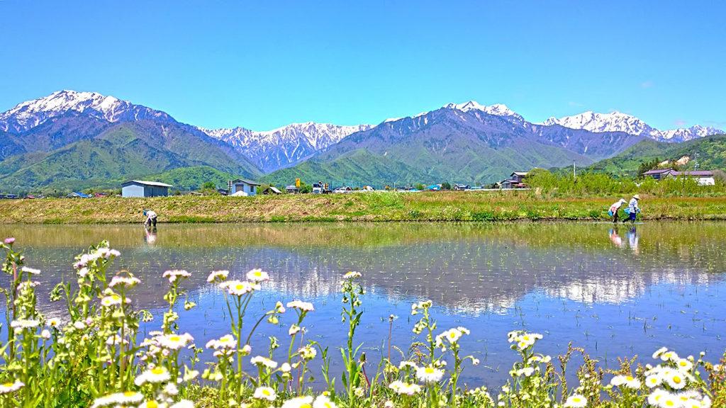 日本の古き良き風景 畔の草花と田植え