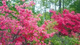 花盛りのツツジの花